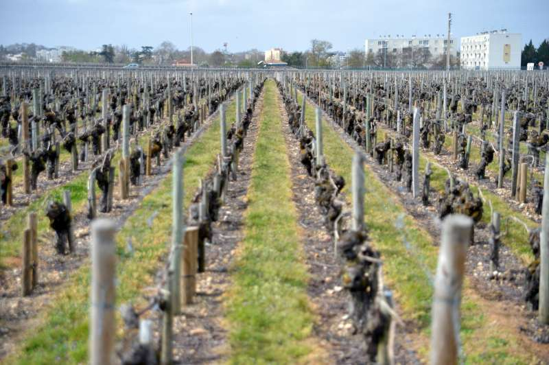 Vines at La Mission Haut Brion